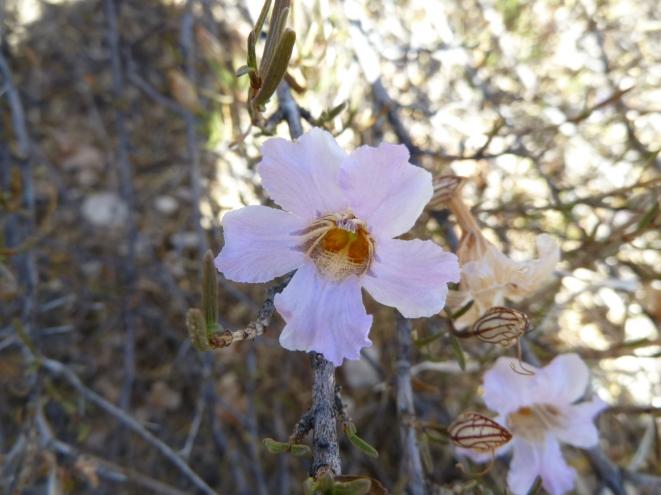 Petalidium_linifolium