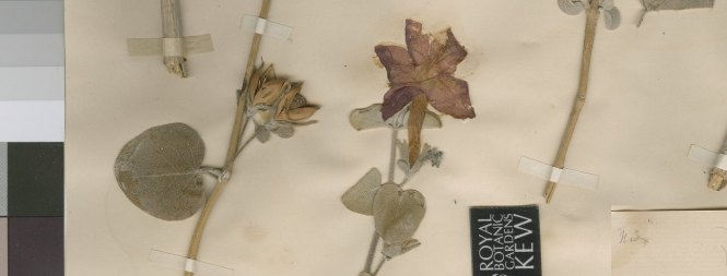 Ruellia_carnea_portion of holotype at Kew