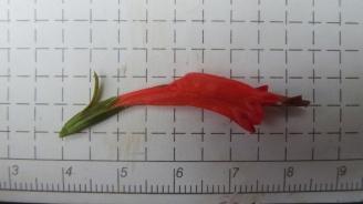 ruellia-longipedunculata_et6025-15