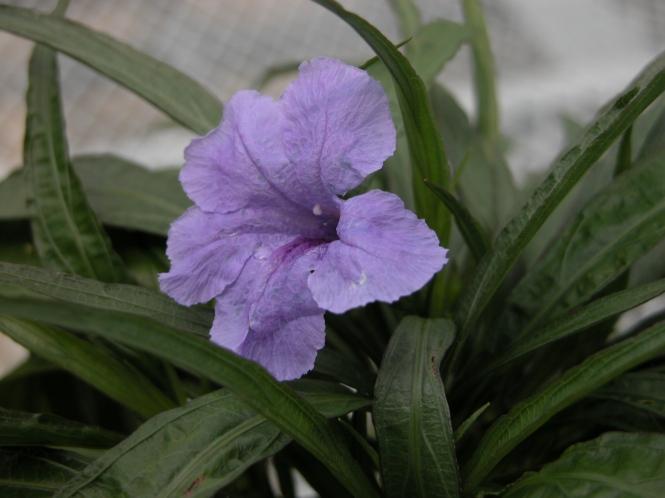 Ruellia simplex (2).JPG