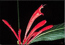 Ruellia_fulgens_Carol Gracie_French Guiana