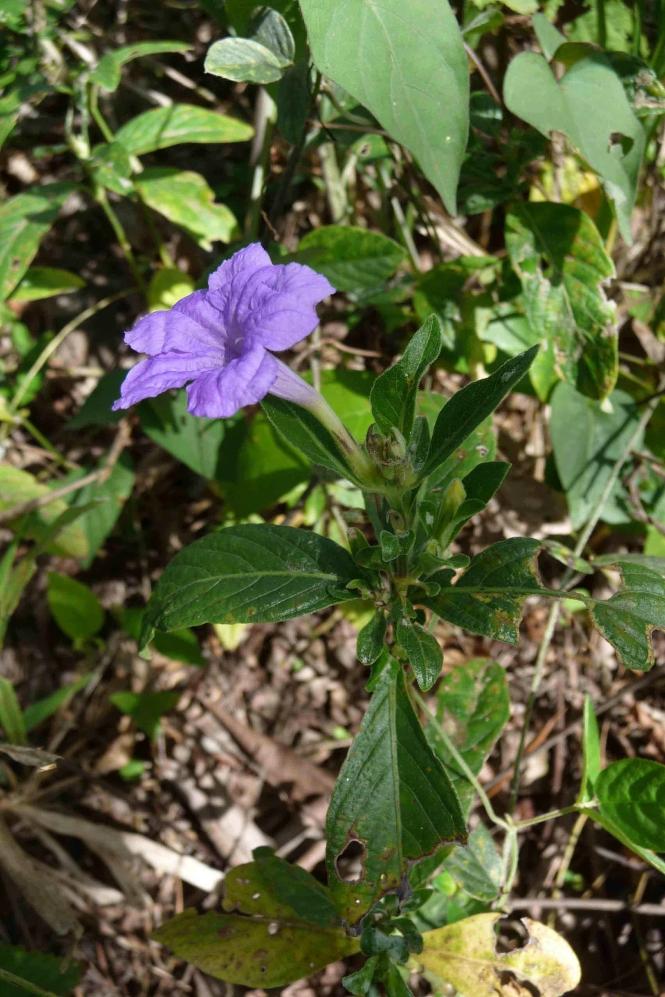 Ruellia_geminiflora_Tripp437f