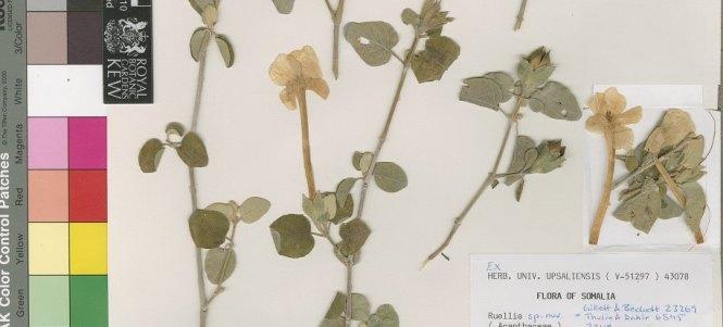 Ruellia_nocturna_portion of holotype at Uppsala