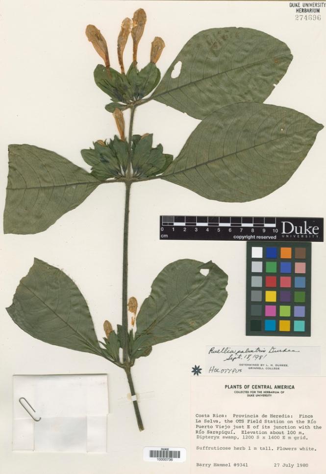 Ruellia_palustris_Durkee_holotype