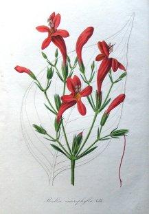 ruellia-macrophylla-wild-petunia-antique-botanical-flower-print-van-houtte-1846-11993-p
