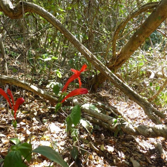 Ruellia macrophylla_Nico 896