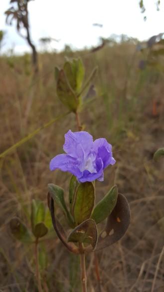 ruellia-helianthemum_et5932-3