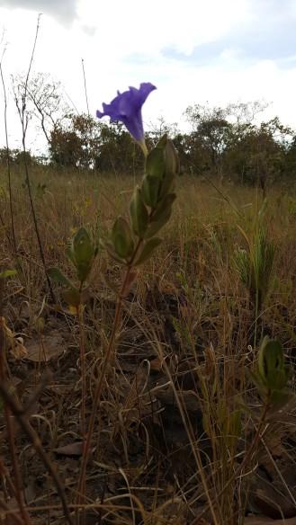 ruellia-helianthemum_et5932-5