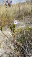 ruellia-trachyphylla10_et5939