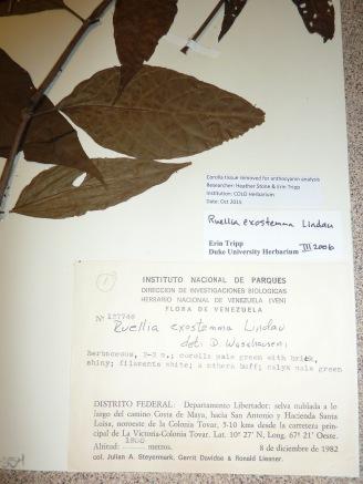 ruellia-exostemma-label_steyermark127746