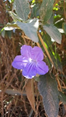 Ruellia dissitifolia_ET5918 (5).jpg