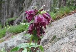 MAYBE_Penstemon whippleanus_Rocky Mountain National Park_Ouzel Creek Trail_Near Bluebird Lake_July 23, 2014 (2) copy